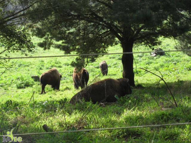 Bison at Golden Gate Park