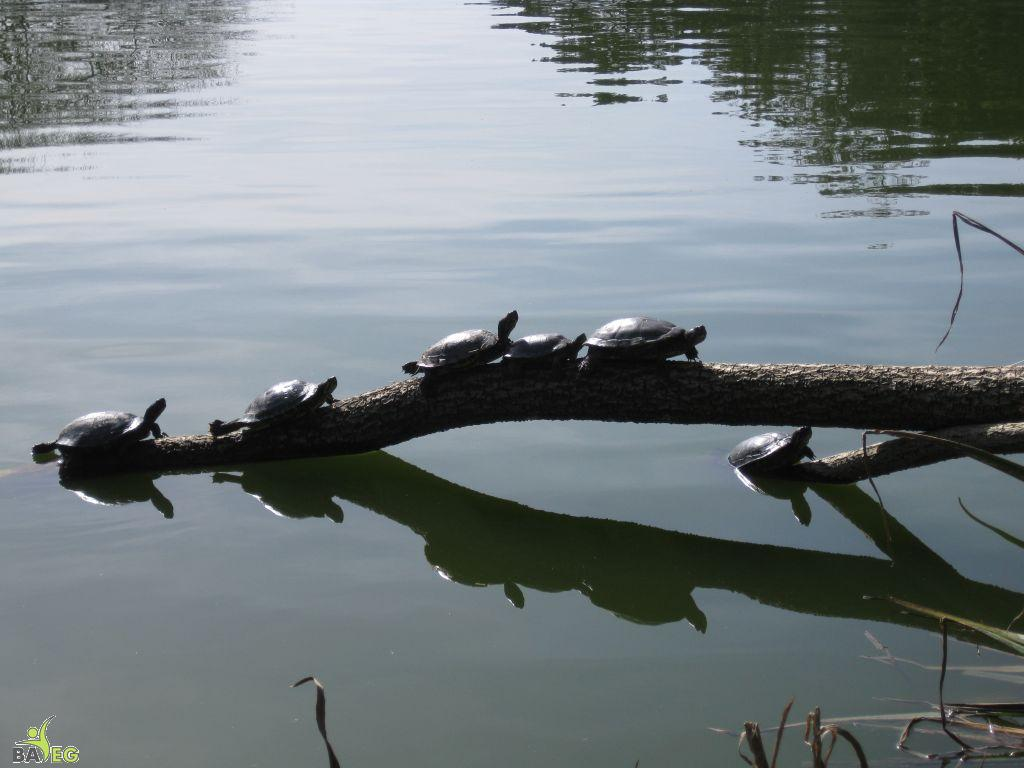 More sunning turtles in Golden Gate Park
