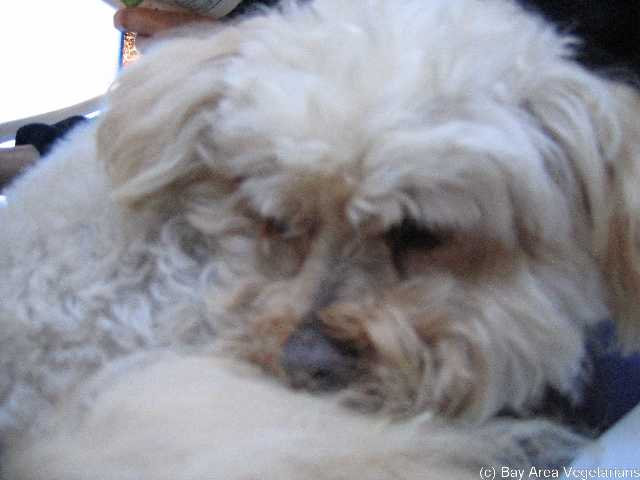 Fred, a cute, cuddly, quiet Lhasa Apso/Poodle mix)