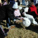 The feeding of the turkeys