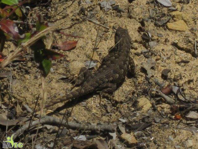 Saw four lizards!  They're hard to photograph.